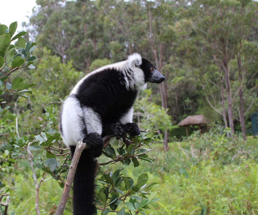 A lemur watches out for predators atop his perch in a rainforest in Madagascar.